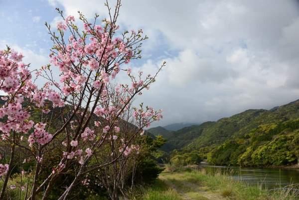"""Sakura"""" à Yakushima."""